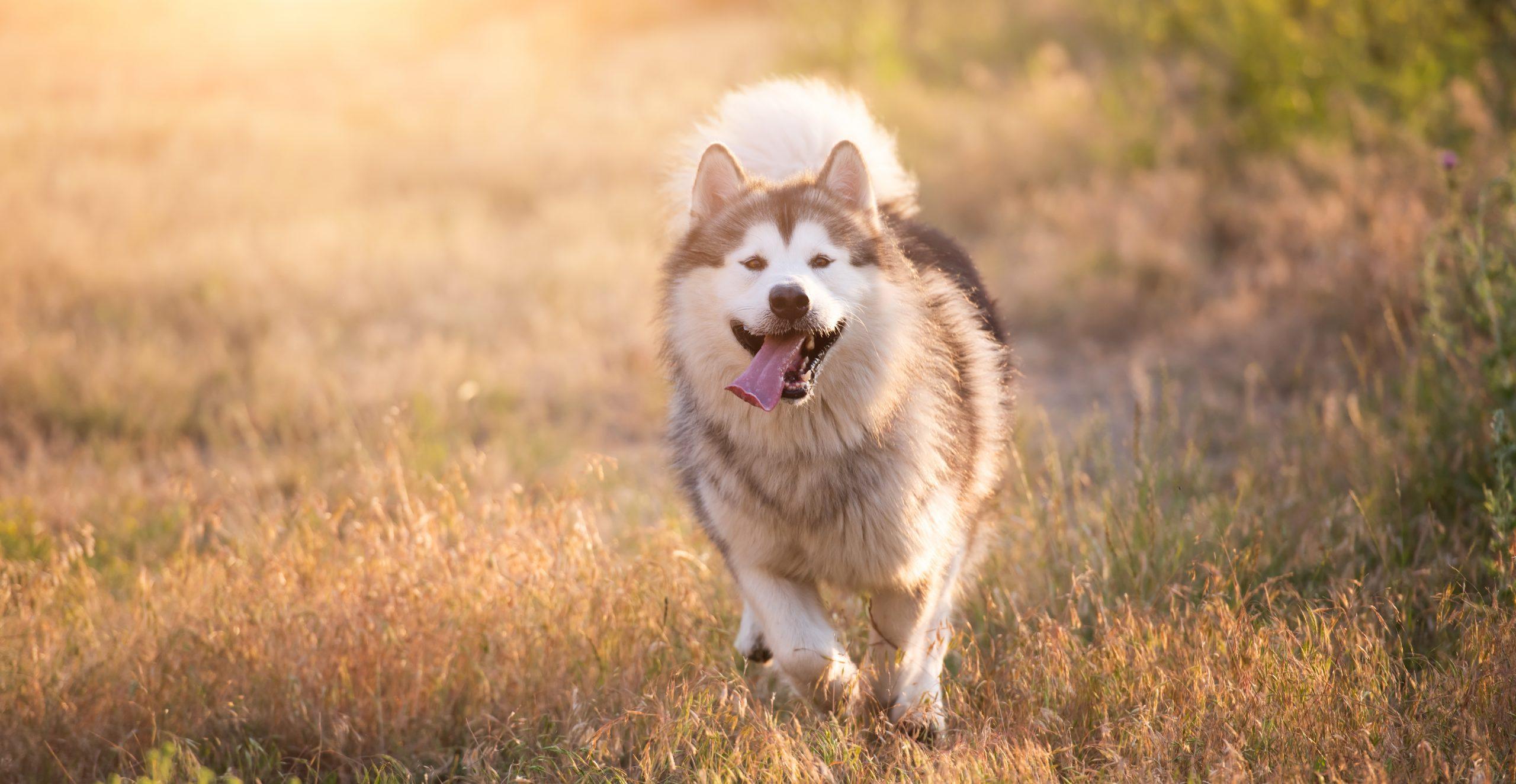 wyprowadzanie psa bez smyczy - pies